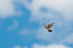 koronowany popielaty strzelisty yellowthroat zdjęcie royalty free