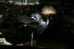 Koronowany ptasi zbliżenie zdjęcie stock