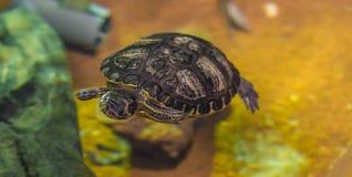 Koronowany rzeczny żółwia dopłynięcie w wodnym zwierzę wody gada zwierzęcia domowego portrecie obrazy stock