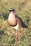 Koronowany siewka ptak zdjęcie royalty free