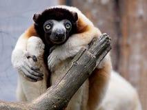 Koronowany sifaka lemur Zdjęcia Royalty Free