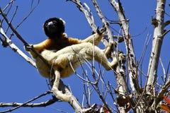 Koronowany Sifaka lemur (Propithecus coronatus) Obrazy Stock