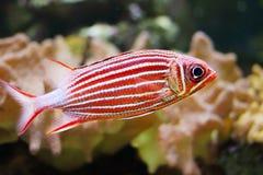Koronowany squirrelfish fotografia royalty free