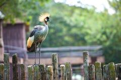 Koronowany żuraw Fotografia Stock