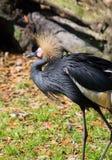 Koronowany żuraw afryka zachodnia Fotografia Royalty Free