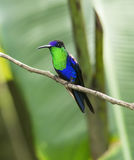 Koronowany Woodnymph Hummingbird zdjęcie royalty free