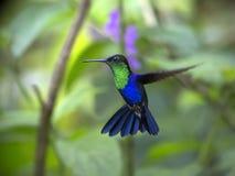 Koronowany Woodnymph, Thalurania colombica zdjęcia royalty free