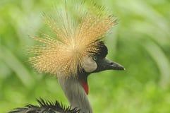 koronujący Afrykanina żuraw Obraz Royalty Free