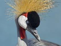 koronujący Afrykanina żuraw Zdjęcie Stock