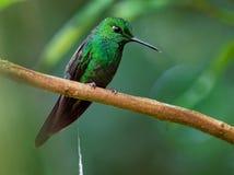 Koronujący brylant - Heliodoxa jacula ampuła, krzepko hummingbird zdjęcie stock