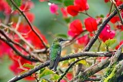 Koronujący Genialny hummingbird w bougainvillea krzaku fotografia royalty free
