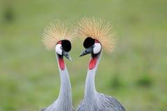 koronujący koperczaków żurawie Fotografia Royalty Free