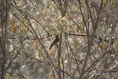 Koronujący mysikrólik Umieszczający w Suchej roślinności w zimie w Południowym Utah fotografia royalty free