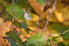 Koronujący mysikrólik Z jesień liśćmi zdjęcia stock