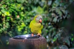 Koronujący parakeet, koronujący conure lub ogoniasty conure, Obrazy Stock