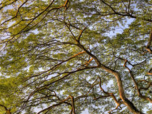 koronuje wielki drzewny tropikalnego Zdjęcie Stock