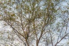 Korony brzoz drzewa Zdjęcie Stock