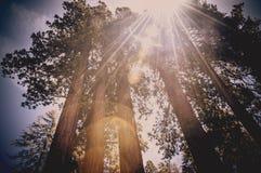 Korony drzewa w Redwood parku narodowym, Kalifornia usa Zdjęcie Royalty Free