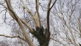 Korony ogromni płascy drzewa, widok spod spodu zbiory wideo