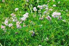 Korony wyka (Securigera varia lub Coronilla varia) Obrazy Stock