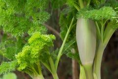 Korovin communis do tenuisecta da férula da férula da planta da férula Fotografia de Stock Royalty Free