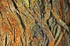 Korowata drzewo Tekstura Zdjęcie Royalty Free