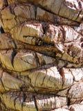 korowata palma Zdjęcie Royalty Free