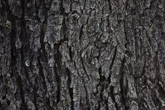 Korowata tekstura Tajlandia ziemi drzewo, korowaty drewniany tekstury tło fotografia stock