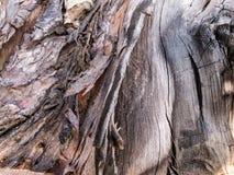 Korowatego drzewa tło Obraz Stock