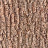 Korowatego drzewa tekstura Obraz Royalty Free