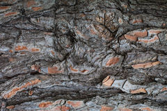 Korowatego drzewa tekstura Fotografia Royalty Free