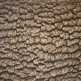 Korowatego drzewa tekstura Fotografia Stock