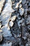 korowatej brzozy odosobniony biel Fotografia Stock