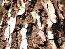 korowatej brzozy odosobniony biel Zdjęcia Royalty Free