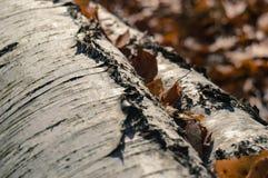 korowatej brzozy odosobniony biel Zdjęcia Stock