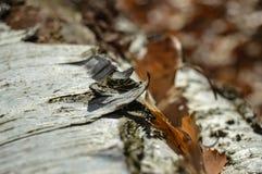 korowatej brzozy odosobniony biel Zdjęcie Stock