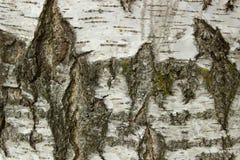 korowatej brzozy odosobniony biel obraz stock