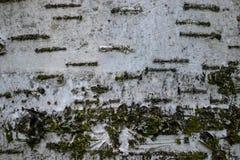 korowatej brzozy odosobniony biel fotografia royalty free