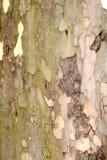 korowaty drzewo Fotografia Royalty Free