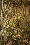 korowaty kasztanu zakończenia szczegółu drzewo zdjęcia stock