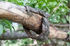 Korowaty obieranie od drzewa Zdjęcia Stock