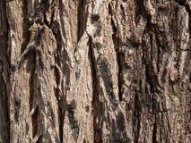 korowaty popielaty stary drzewo Obraz Stock