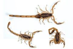 Korowaty skorpion Obrazy Royalty Free
