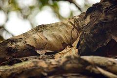 Korowaty tracenie od Australijskiego gumowego drzewa zdjęcie stock
