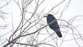 Korpsvart corbiesammanträde på en filial av stark vind, torr trädfågel arkivfilmer