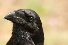 Korpsvart - Corvuscorax, ögon, huvud och näbb arkivfoto