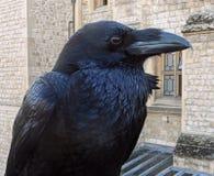 Korpsvart fågel i London royaltyfria foton