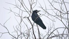 Korpsvart fågelcorbiesammanträde på en filial av en stark vind, torrt träd stock video