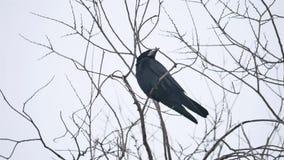 Korpsvart fågelcorbiesammanträde på en filial av stark vind, torrt träd lager videofilmer
