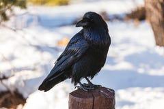 Korpsvart i vinter Fotografering för Bildbyråer